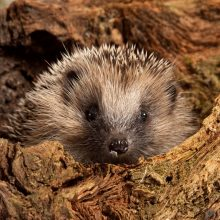 Lucky Escape for Injured Hedgehog