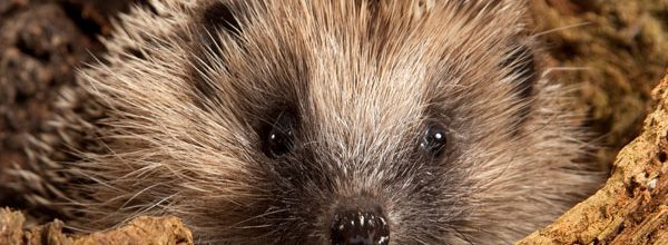 Hedgehog Included on First Red List for British Mammals