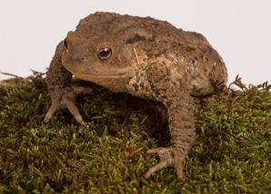 amphibians_toad