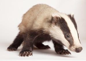 badger_cub