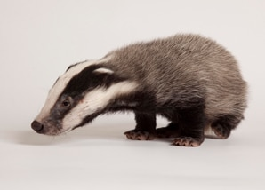 gift-aid_badger