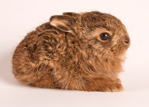 hare_leveret