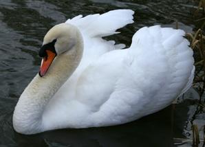 Swan & Cygnet Rescue