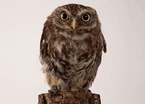 membership_liitle-owl