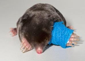 mole_bandaged