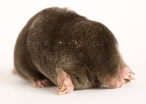 mole_mole