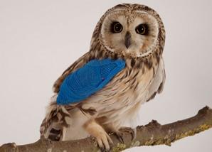 owl_short-eared