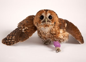 owl_tawny