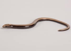 reptiles_slow-worm