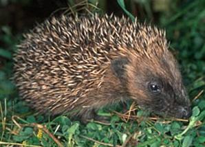 volunteer_hedgehog