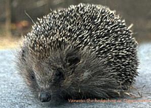 volunteer_hedgehog_2