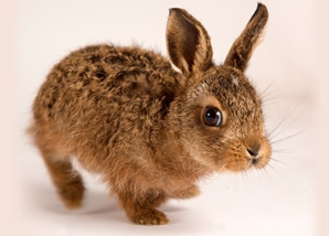 wildlife_rabbit