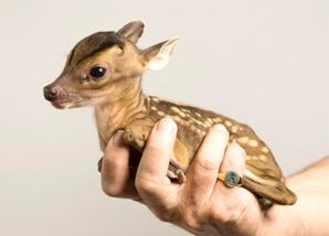 Juvenile Deer