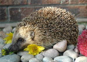 marvin-male-hedghog