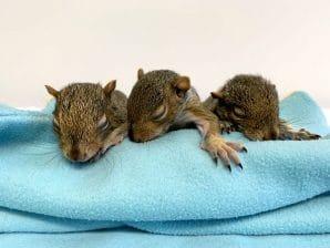 Juvenile Squirrels