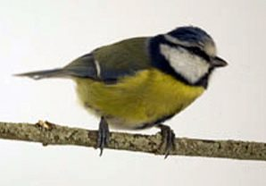volunteer_great_tit